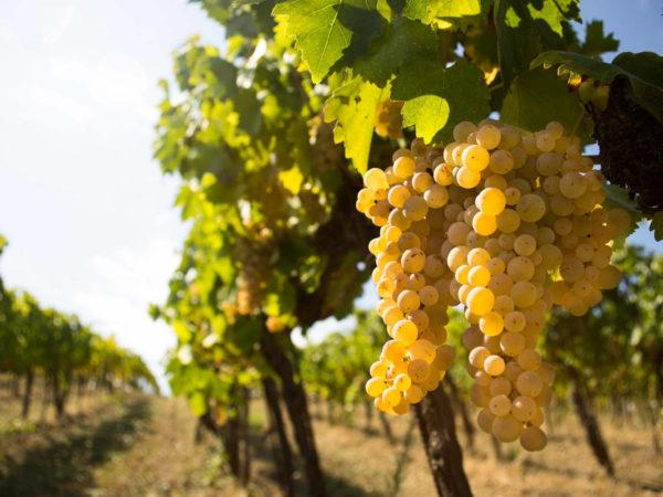 Vernaccia di San Gimignano wine tour - private tour San Gimignano